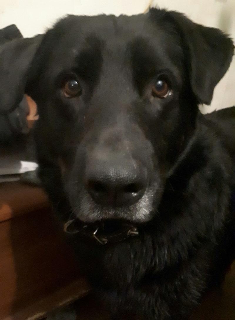 Metis Labrador 2 years
