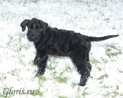 Giant Schnauzer puppies from kennel Gloris