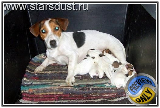 Jack Russell Terrier - Puppies