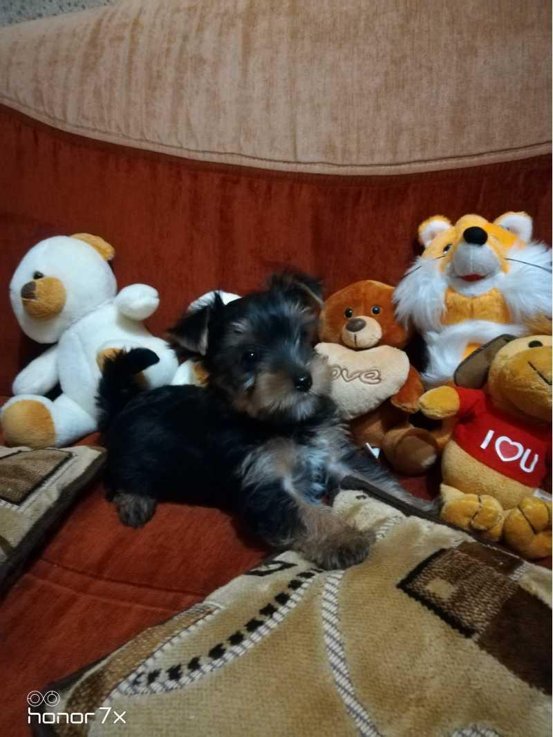 Wonderful Yorkshire Terrier puppies standard