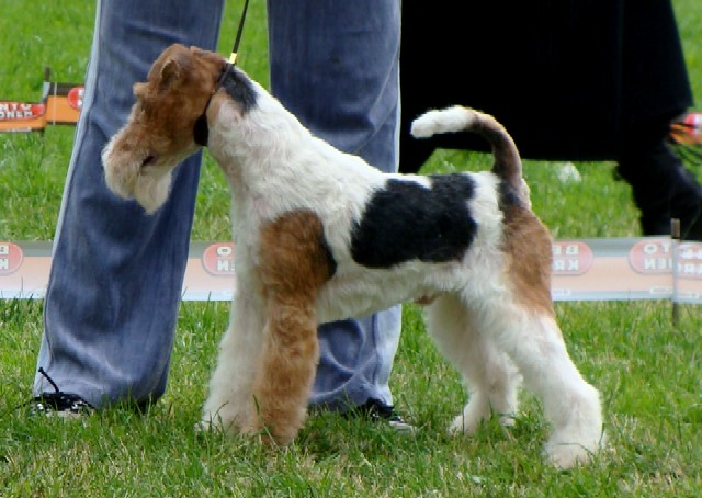 Puppies zhestkoscherstnogo terrier from Durand Dream of the Poet and Staring Grant!