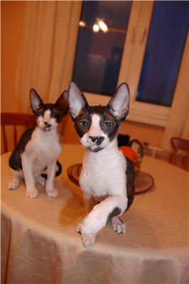 Cornish Rex kittens stylish curly