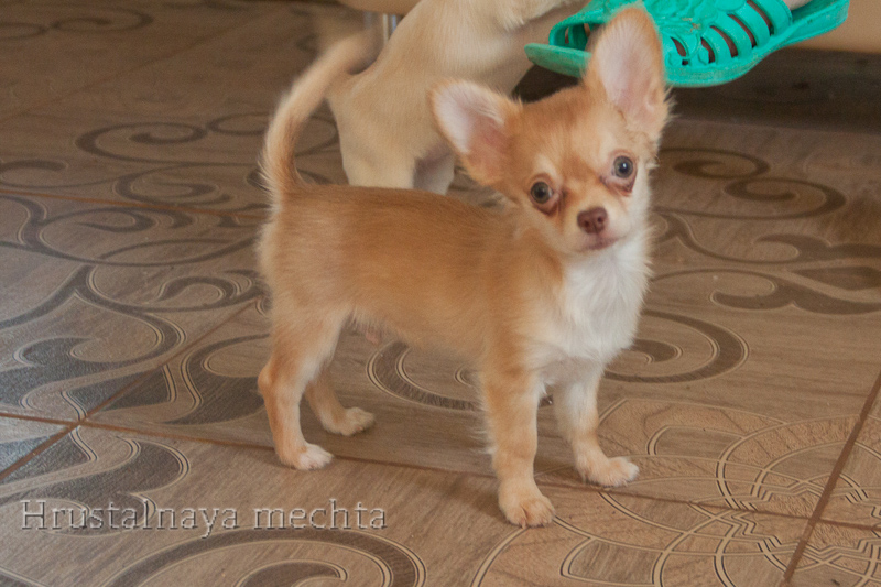 Chihuahua kennel from crystal dream for sale. There are Kobelkov for mating