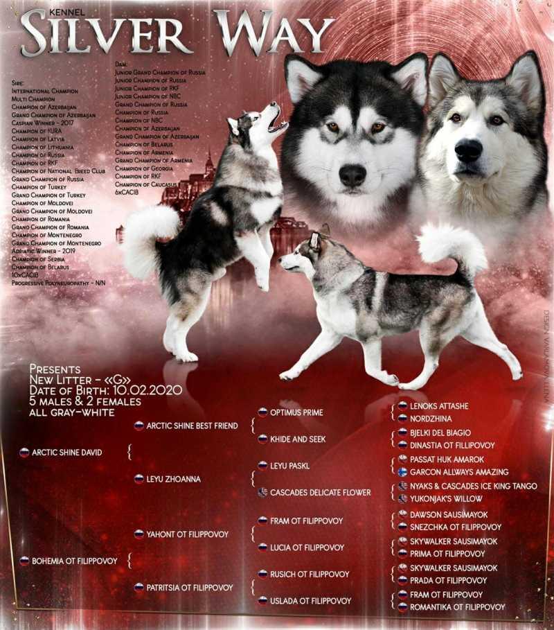 Puppies Alaskan Malamute