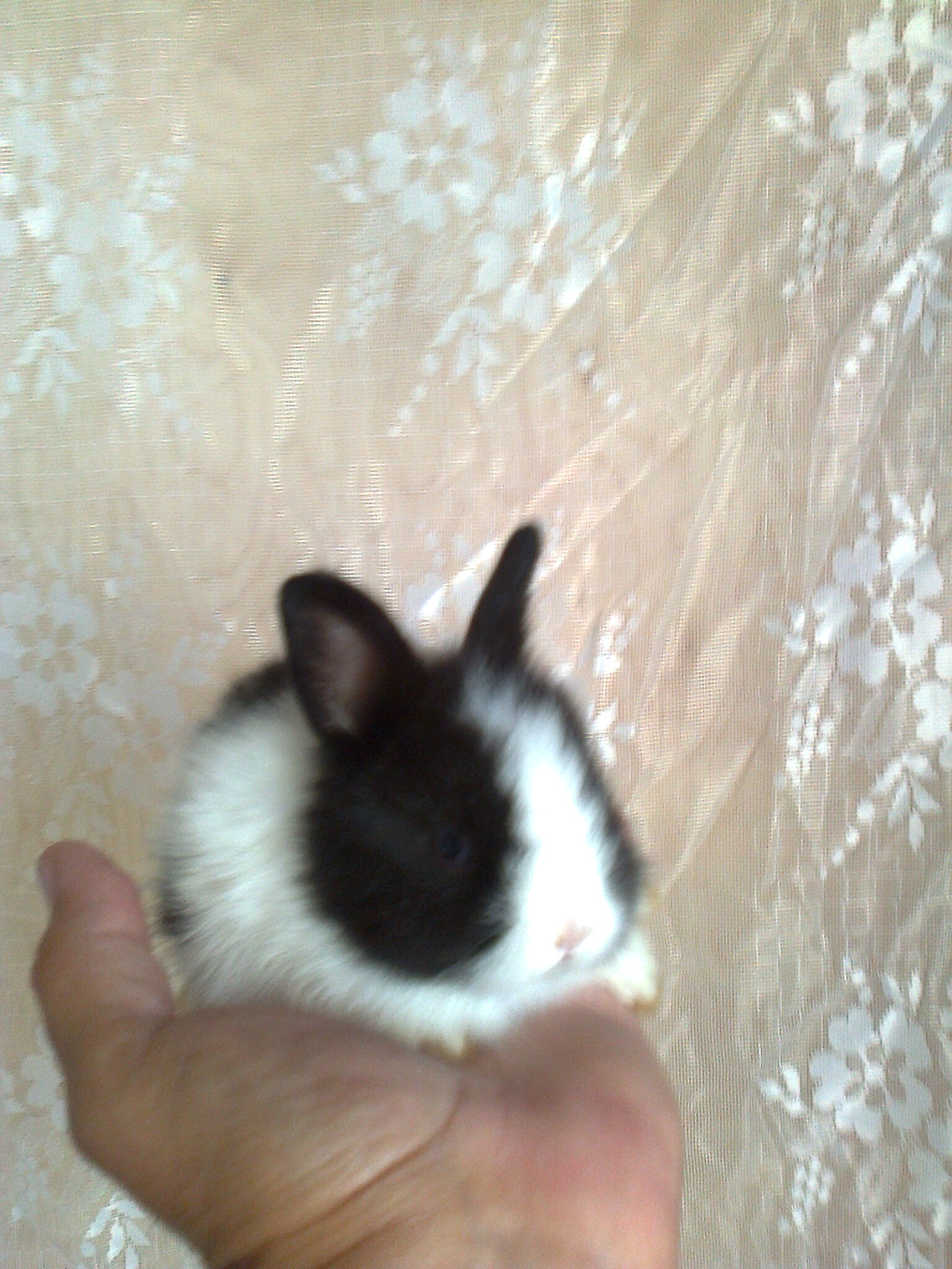 a dwarf rabbit. shipping. Lemming