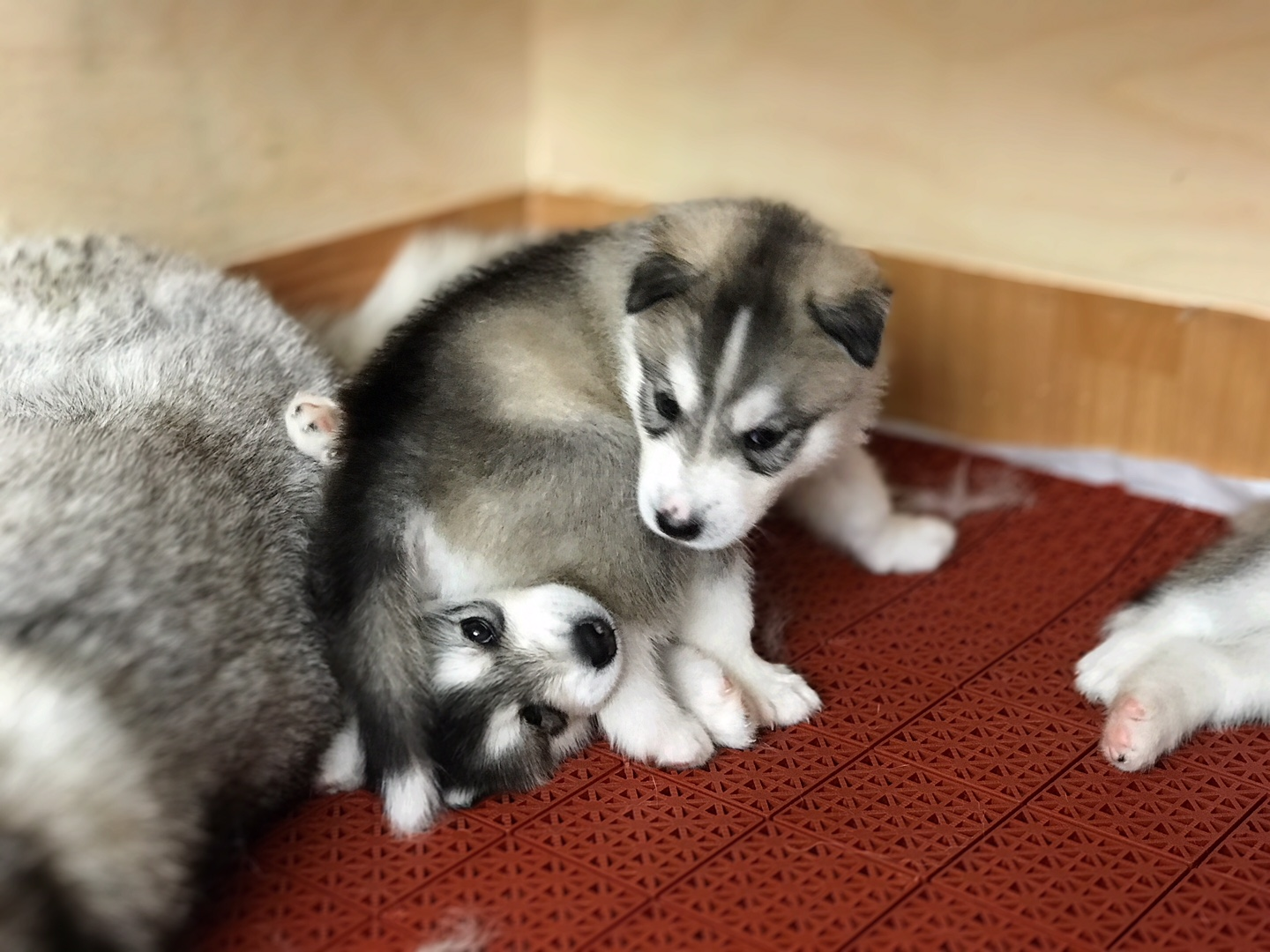 Puppies. Siberian husky