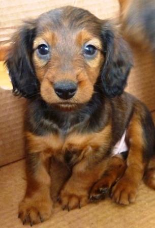 Dachshund puppies standard (boys)