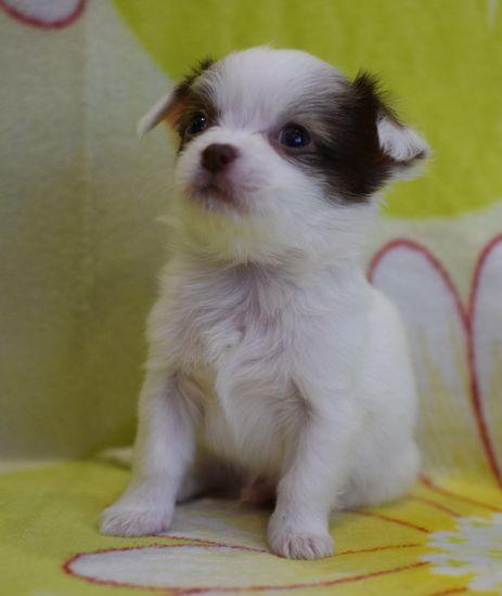 Chihuahua, mini Chishki - two boys and a girl, RKF