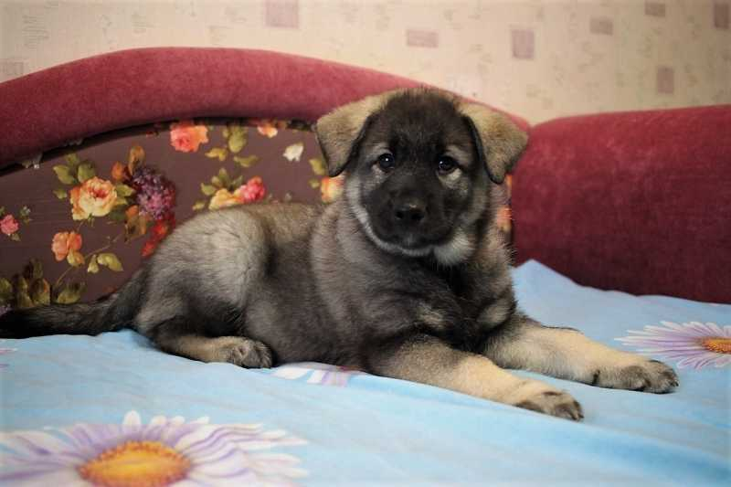 Pups Norwegian elk Laika (Elkhound)