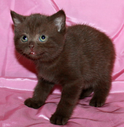 Chocolate British kittens from cattery