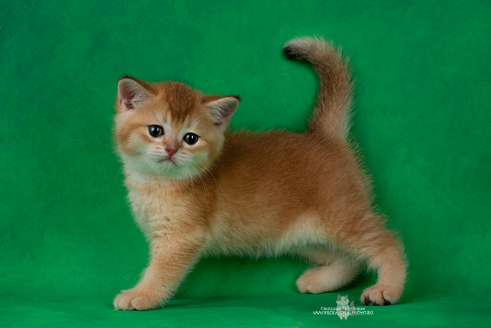 Golden British cats