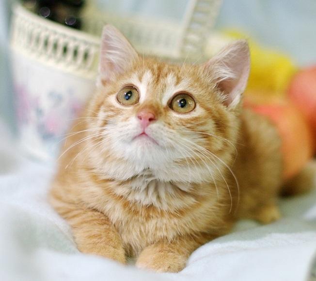 Red sun kitten Morkovkina for a gift