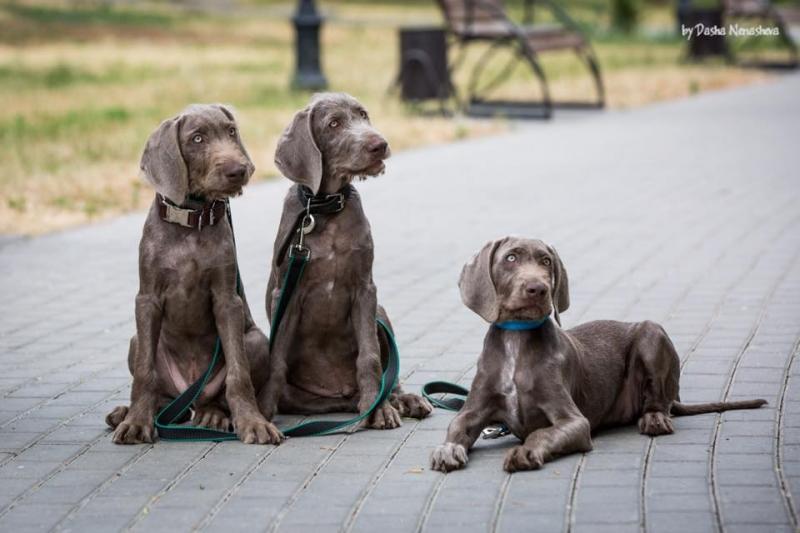 Puppies Slovak coarse-haired setter