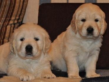 puppies golden (Golden) Retriever