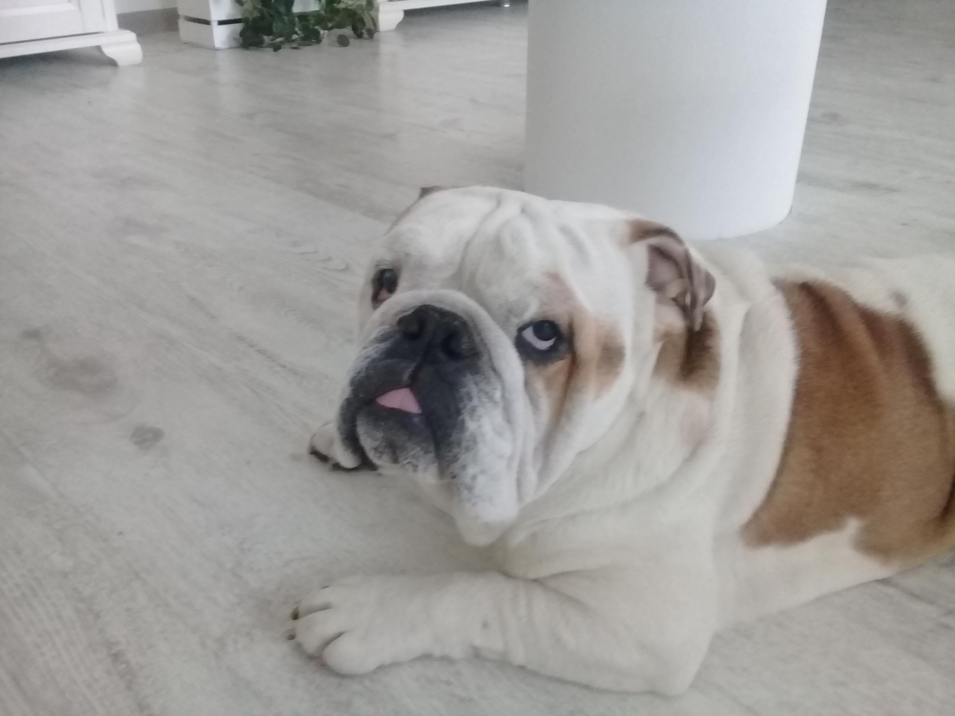 angliiskii bulldog