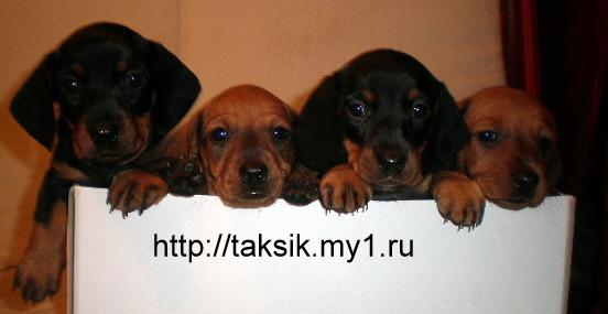 Dachshund puppies TAXES