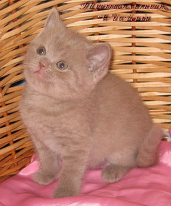 British lilac kittens from cattery Vivian