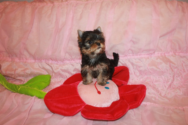 Puppy for sale Yorkshire Terrier