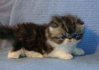 Charming Persian kittens