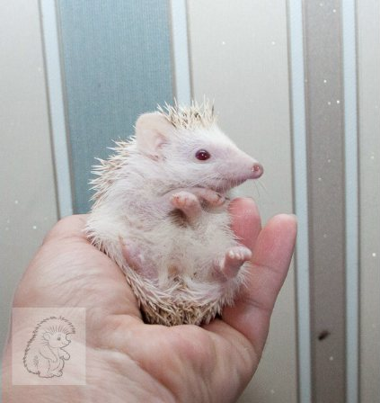 Handmade hedgehogs, dwarf decorative kids