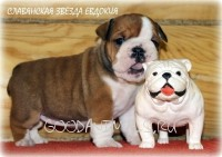 Sell the puppies of English bulldog