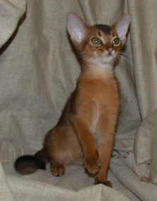 Two Abyssinian cat