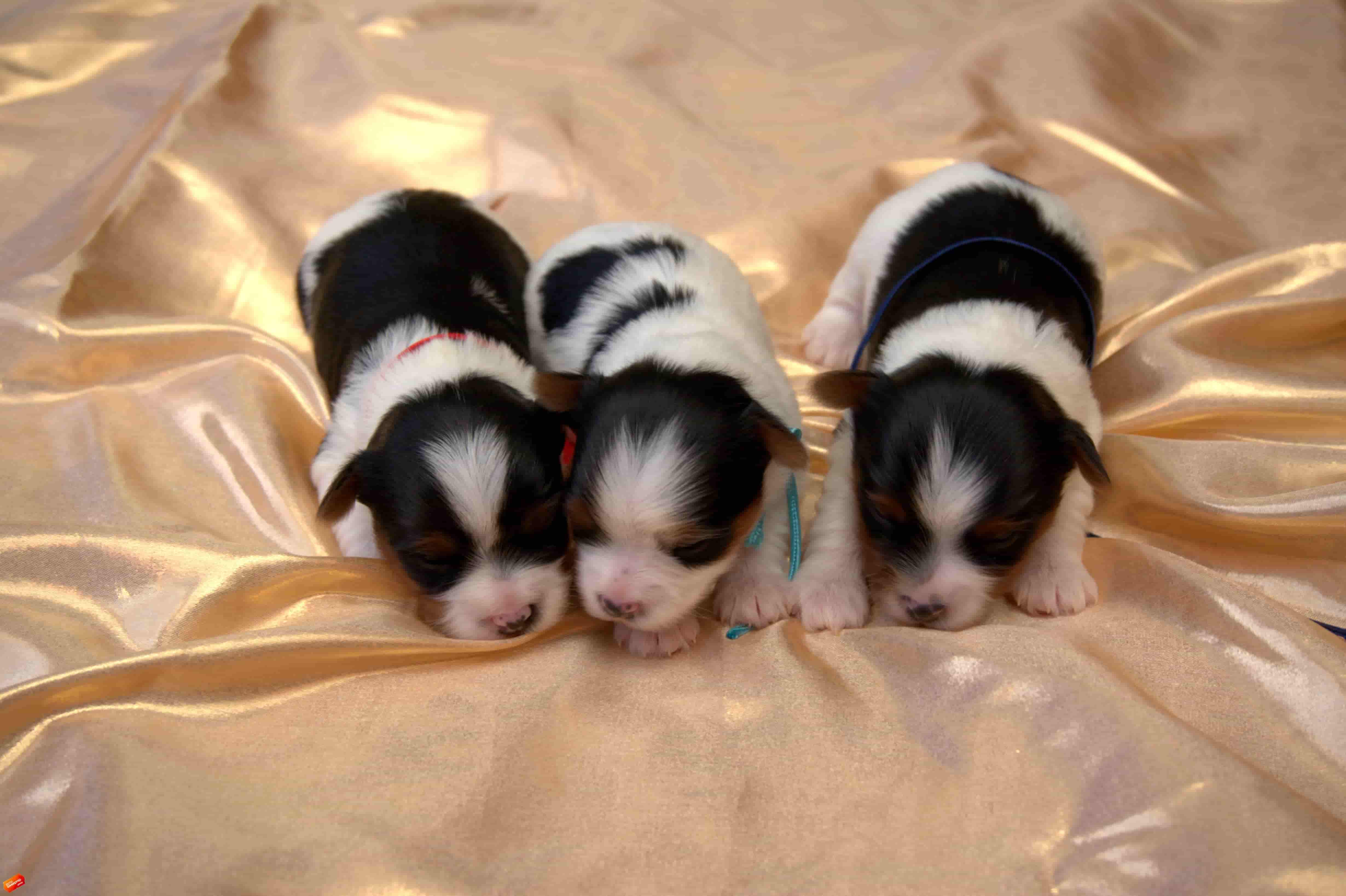 Puppies for SALE – BIEWER (BIEWER - YORKSHIRE) in Anapa