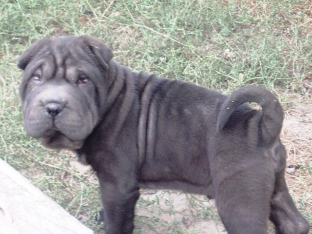 Shar Pei puppies, elite winners from Europe, Ukrainian Champion, Grand Champion of Ukraine Champion of Moldova, Ukrainian Winner