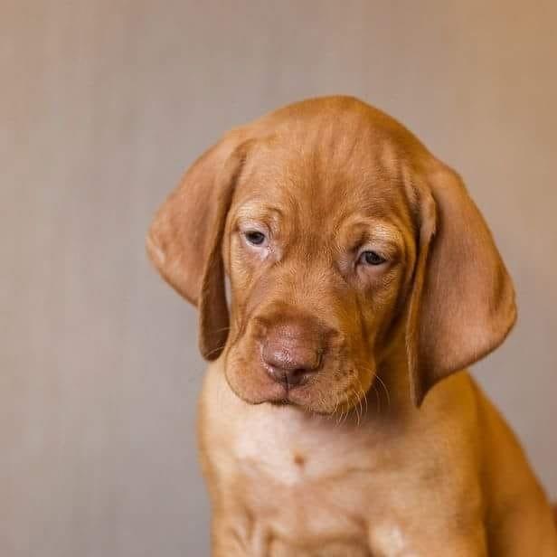Wonderful puppy Hungarian Vizsla