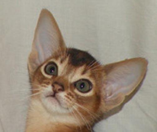 MELISSA-Abyssinian kitty