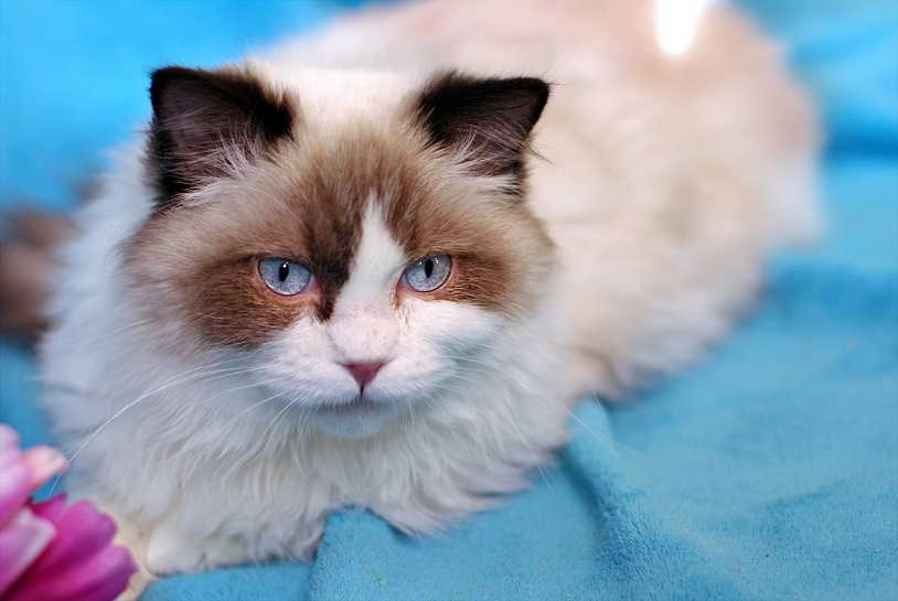 Fluffy miracle, breed ragdoll Columbine as a gift