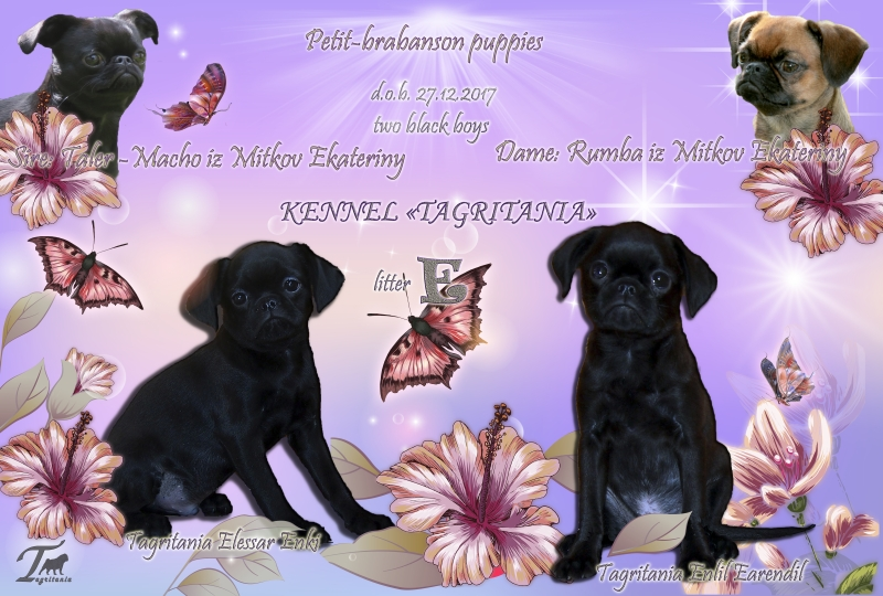Puppies Petit Brabancon black color