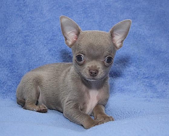 Beautiful pedigree Chihuahua puppies rare colors