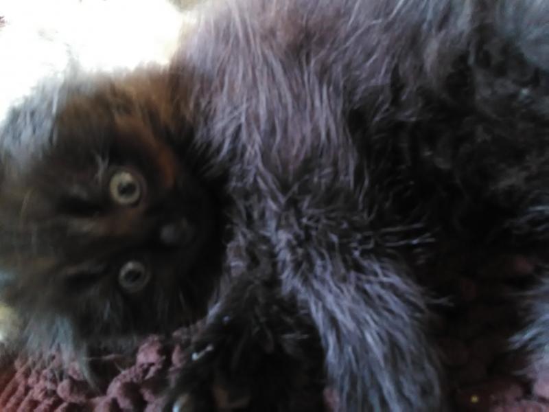 Sell kittens virgins. , Shotlandskoi fold