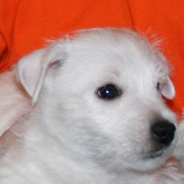 Sale excellent puppy West Highland White Terrier