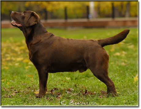 LABRADORCHIKI - CHOCOLATE PUPPIES (pictured - the father of the puppies)