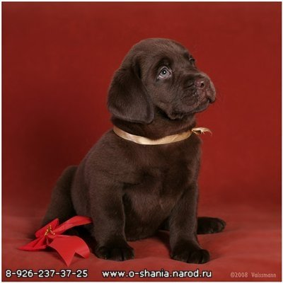 Labrador puppies all colors of the club