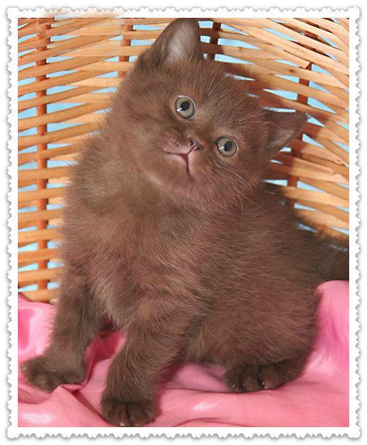 British club chocolate kittens