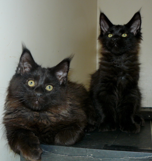 Kittens Maine coons