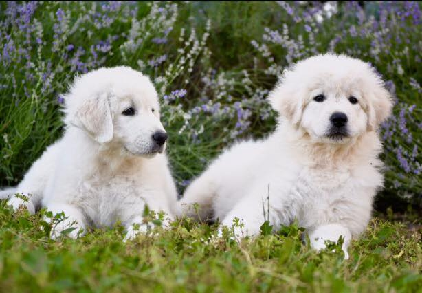 Puppies, Maremma the Abruzzi shepherd
