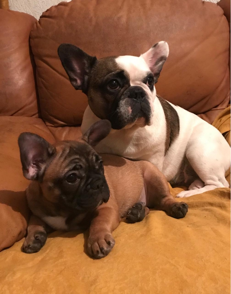 Sell the puppies of French bulldog