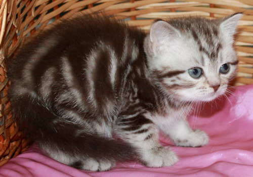 British Whiskas kittens from a cattery