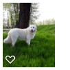 Puppy Maremma-Abrucci shepherd