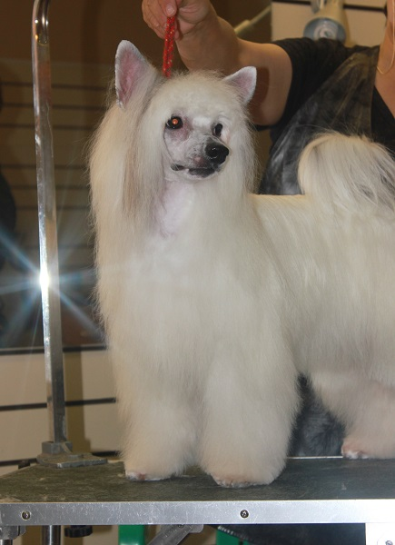 Chinese Crested puppies powder Puffs looking for a loving home