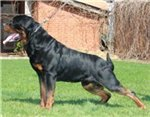 Rottweiler puppies for sale with good bone structure of the titled couples