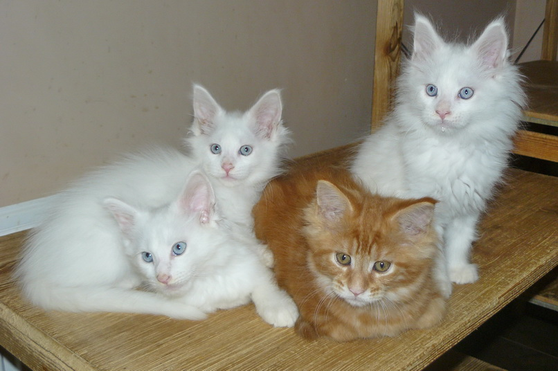 Kittens of breed Maine Coon