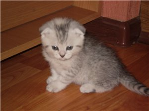 Scottish fold kittens selling