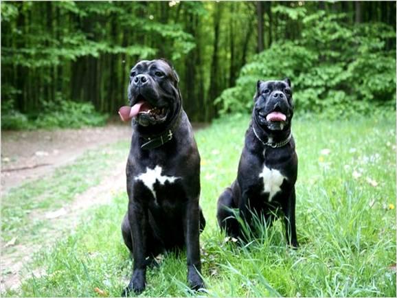 Bodyguards Cane Corso