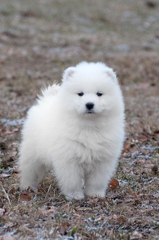 Puppies Samoyed
