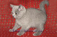 British plush and Scottish fold kittens